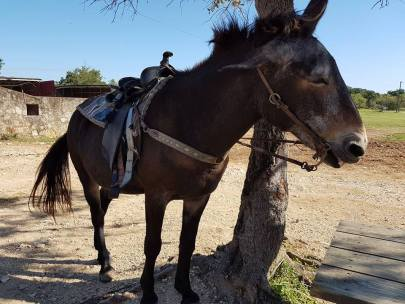 Ein Pfesel, halb Pferd, halb Esel (Maultier)
