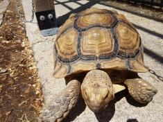 Riesige Schildkröte